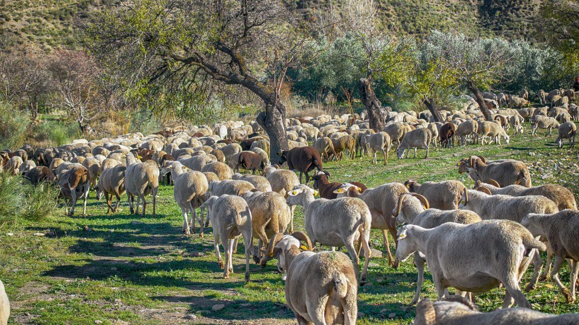 Agricultores y ganaderos reciben hoy más de 9,8 millones de euros, destacando los 7,2 millones de las ayudas al pastoreo para ovino y caprino
