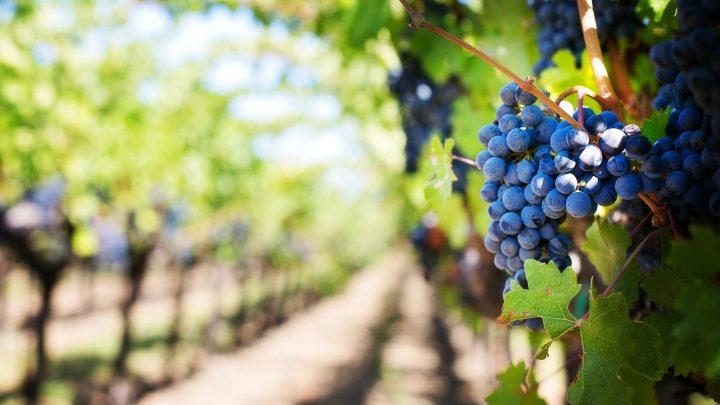 Castilla-La Mancha publica esta semana la orden que regula la entrada en bodega de uva con al menos 9 grados, a favor de la calidad de los vinos