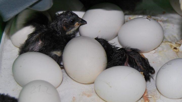 El Gobierno regional impulsa la reintroducción de la gallina negra castellana en el medio rural a través de un programa de recuperación
